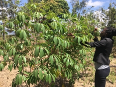 healthy cassava